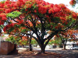 тюльпановое дерево в головинке в сочи